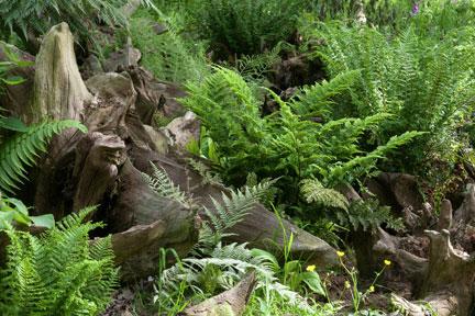 Ferns Hardy Rhs Gardening