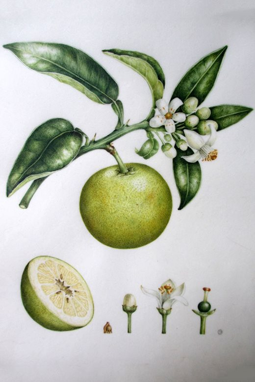 'Lime' by Sarah Gould