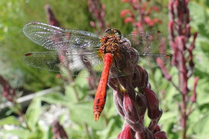 Red dragonfly on Lobelia tupa