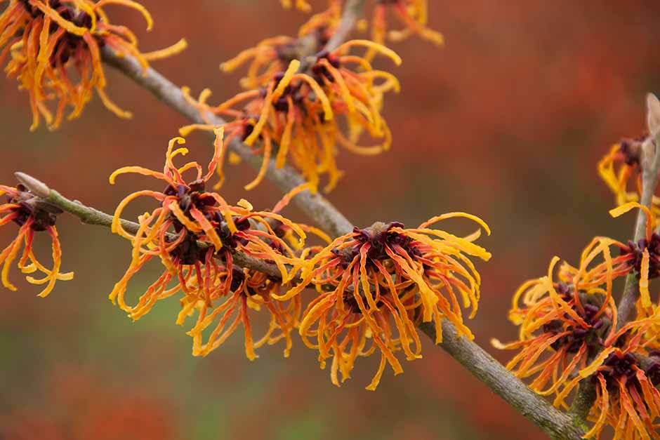 How To Grow Witch Hazel Rhs Gardening