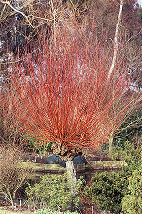 Pruning a willow can produce vibrant stems that look good in winter.