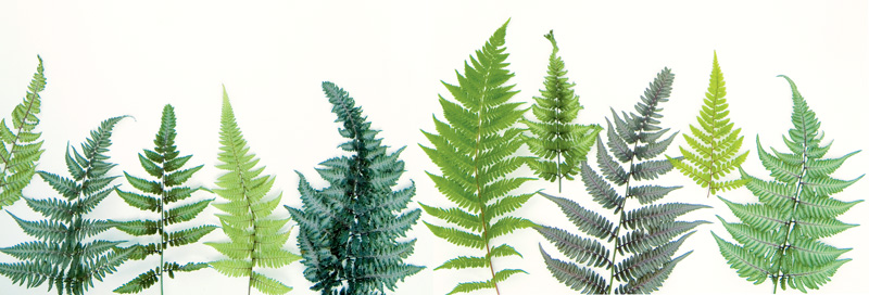Cultivars of the Japanese painted fern