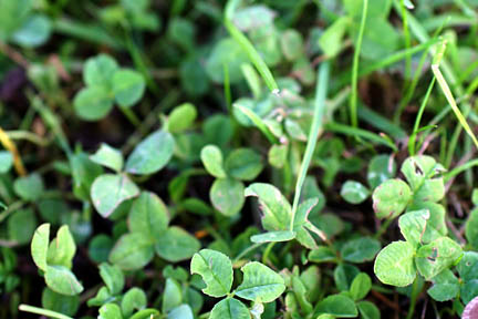 Clover in lawns / RHS Gardening