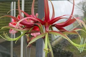 Hippeastrum 'Chico' in the trial at RHS Garden Wisley