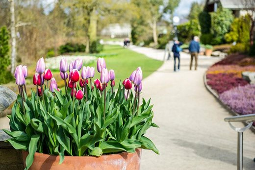 Tulips and visitors at Harlow Carr