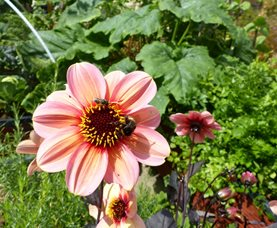 A bumblebee works a dahlia flower in the vegetable garden