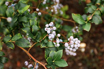 Goji Berries Rhs Gardening