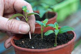 fuchsiacuttings3x2 June gardening tips - Trees & Shrubs
