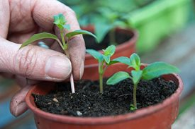 fuchsiacuttings3x2 June gardening tips - Trees & Shrubs
