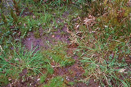 Puddling water on soil surfaces indicates a drainage problem. Image: RHS