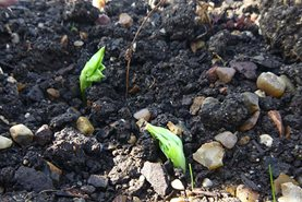 Fresh new shoots of broad beans