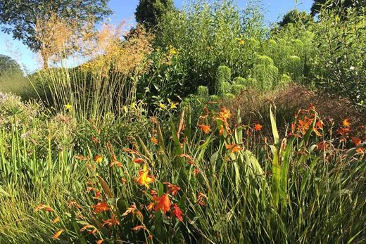 Stipa gigantea and Anemanthele lessoniana with crocosmia