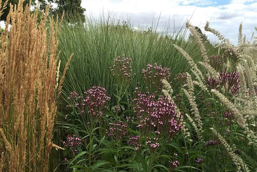 Verbena hastata f.Rosea with Calamagrostis 'Karl Foerster and Pennisetum 'Tall Tails'