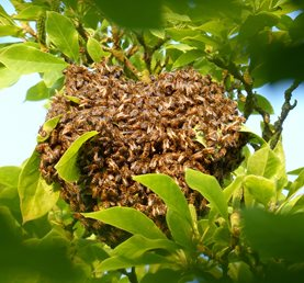 A heart-shaped swarm of honey bees