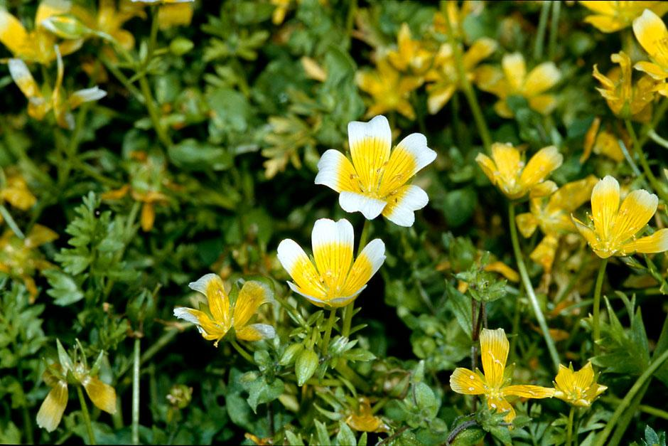 'Poached egg' plant