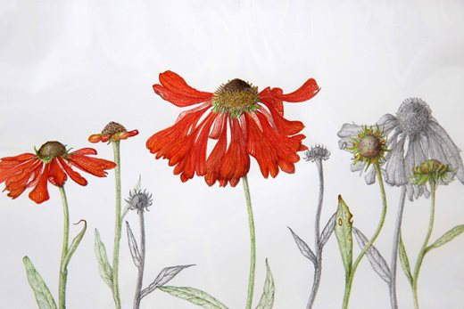 Helenium picture by Patricia Newman