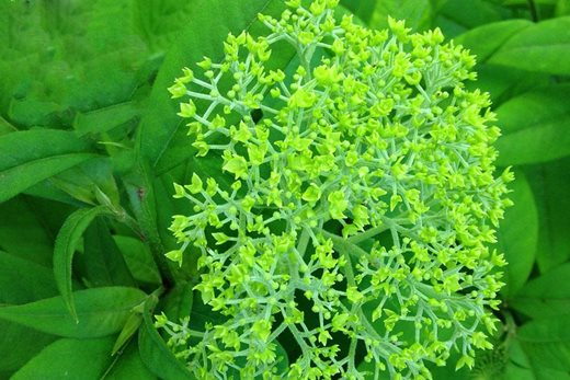 flowers of hydrangea 'Annabelle' are lime green when they first open