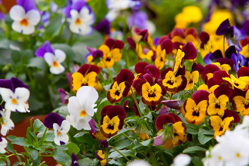 Violas make great container plants for the colder months