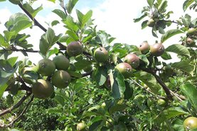 Apple 'Lord Lambourne' pre-thinning