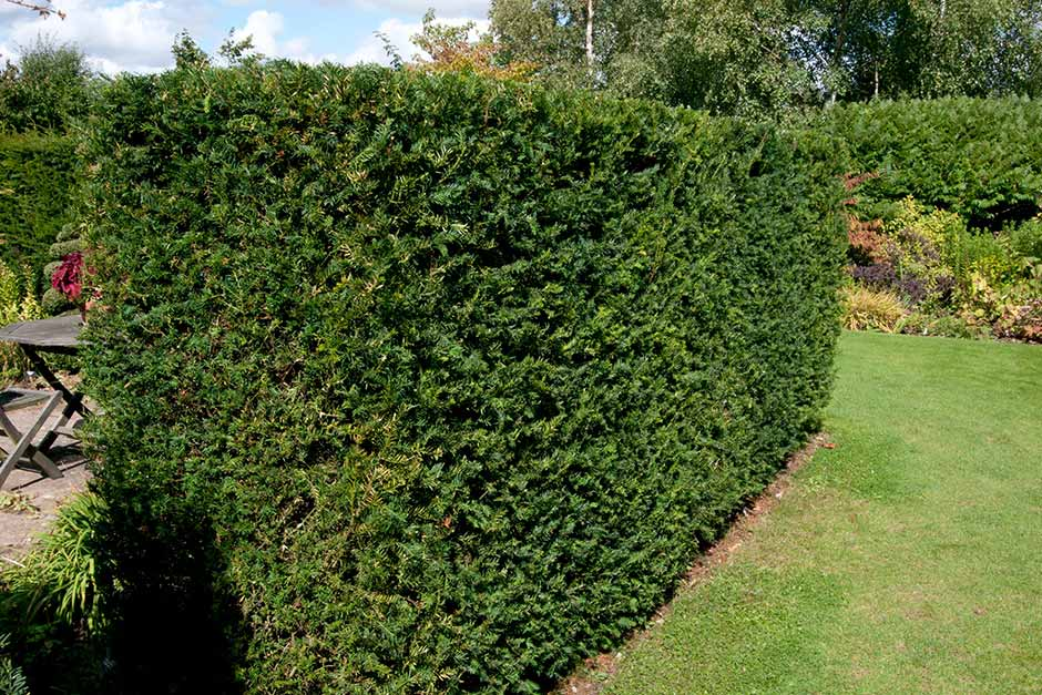 How To Grow Yew Rhs Gardening