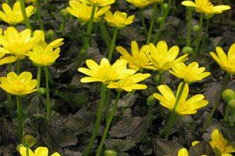 Identify common weeds rhs gardening lesser celandine mightylinksfo
