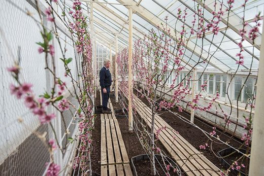 Peach trees under glass at Floors Castle
