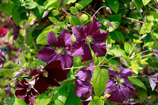 rhs garden rosemoor blog july plant of the month rhs. Black Bedroom Furniture Sets. Home Design Ideas