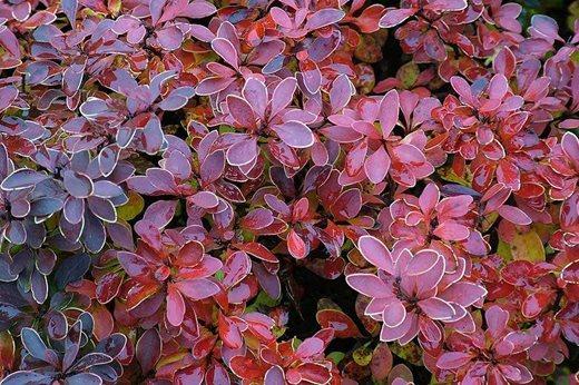 Read about the rhs top 10 agm garden plants with dark leaves rhs berberis thunbergii mightylinksfo