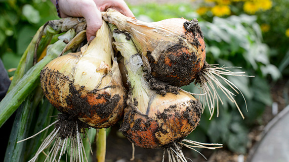How to onion starts form mature onions valuable