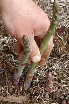 Harvesting asparagus. Credit: RHS/Advisory.