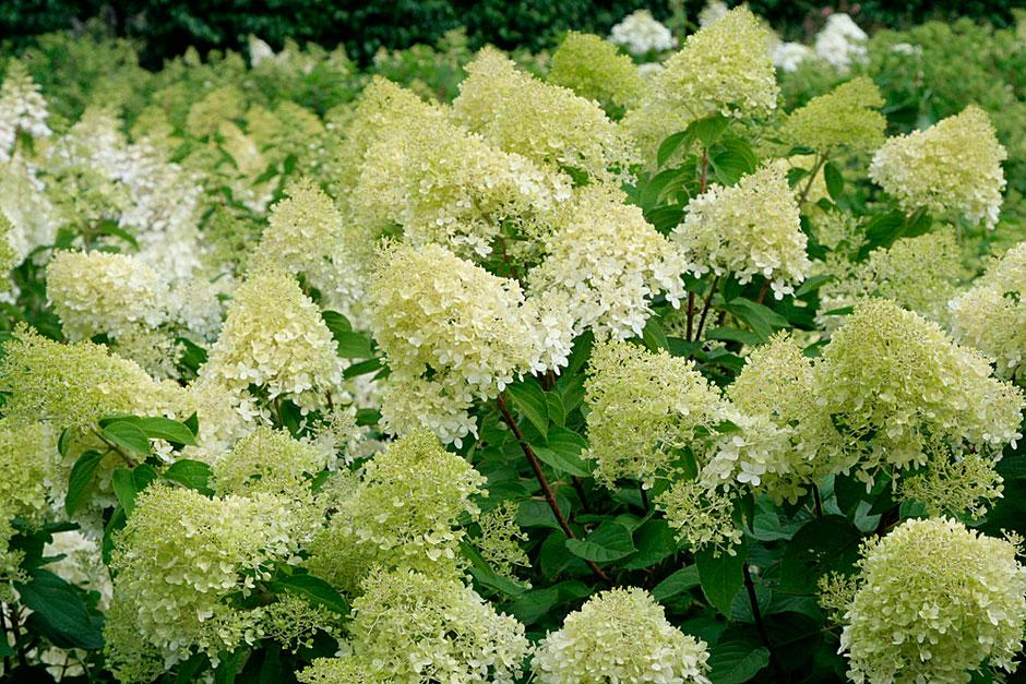 discover the best shrubs to use for cut flowers rhs gardening. Black Bedroom Furniture Sets. Home Design Ideas