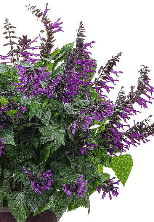Salvia Rockin' Deep Purple ('Bbsal09001')