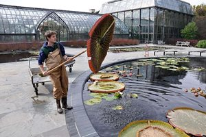 Former Interchange Fellow Alex Summers removing the spent leaves of Victoria 'Longwood Hybrid' at Longwood Gardens