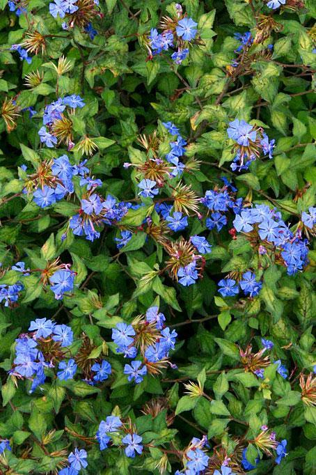 Click To Enlarge Ceratostigma Forest Blue