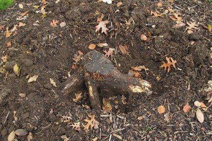 Honey Fungus Managing Outbreaks Rhs Gardening