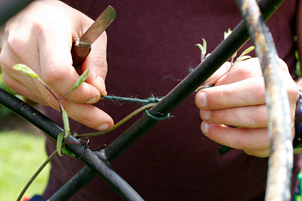Tying in a climber. Credit:Neil Hepworth/RHS The Garden.