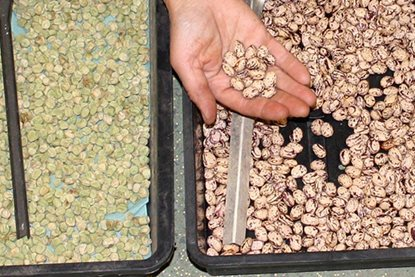 Dried pea and bean seeds