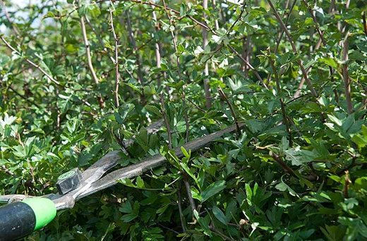Pruning hedge