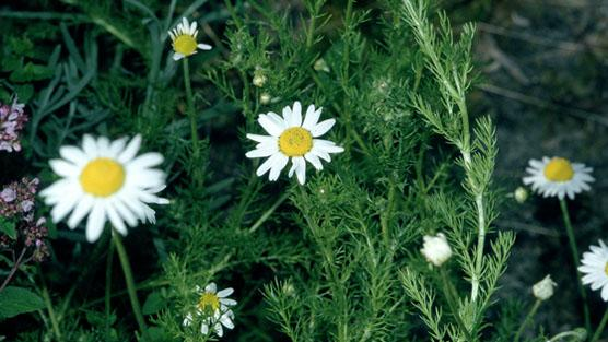 How To Grow Camomile Rhs Gardening