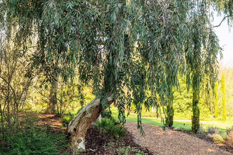 How to grow eucalyptus / rhs gardening.