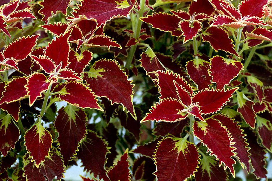 Plants for kids coleus RHS Gardening