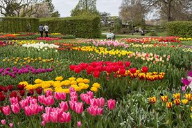 Tulip trial at Wisley 2014