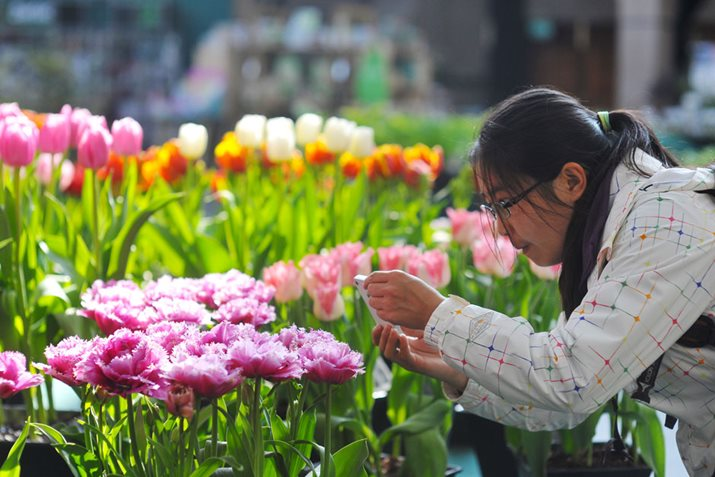 A visitor taking a photo of tulips on a smartphone