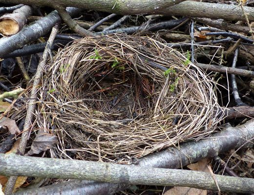 An old blackbird's nest found in woven brash