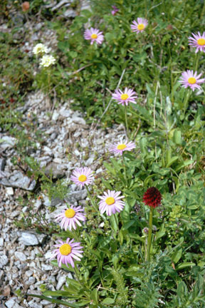 Aster alpinus  in a scree bed
