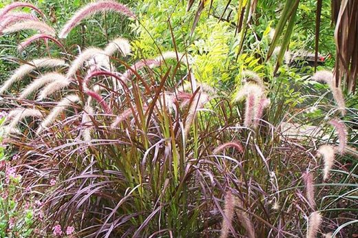 See our top 10 autumn ornamental grasses for the garden rhs gardening pennisetum workwithnaturefo