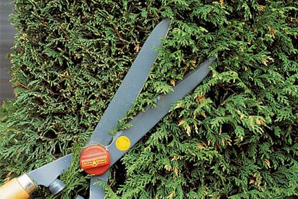 Leyland Cypress Pruning