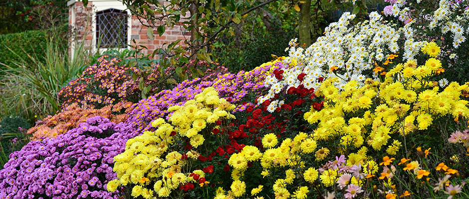 Chrysanthemums at Hill Close