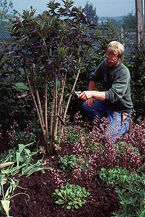 Pollarding an elderberry to keep it small and produce good-colour foliage.