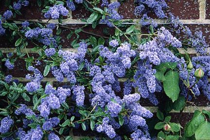 Ceanothus Cascade Image Rhs Herbarium